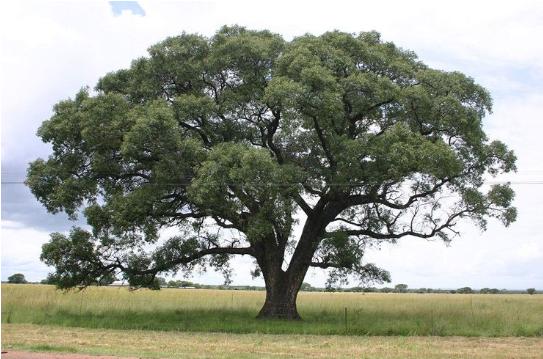 5.马鲁拉树.png